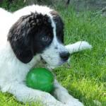 Charis mit Ball (als Welpe)